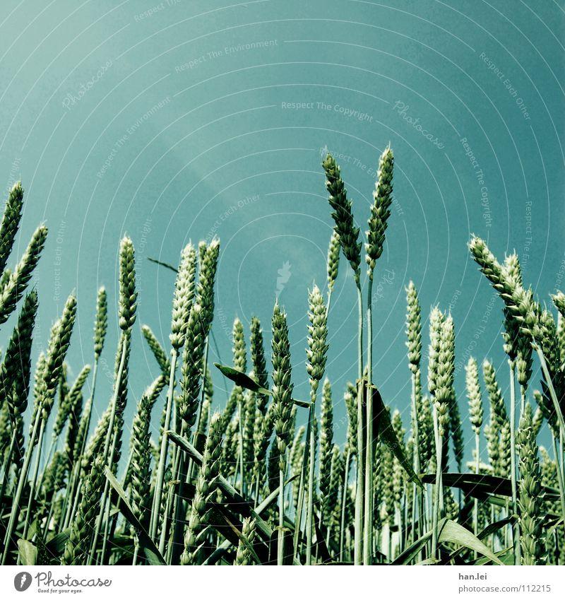 Vorweihnachtszeit Getreide Ernährung Landwirtschaft Forstwirtschaft Himmel Frühling Gras Feld Wachstum blau grün Appetit & Hunger Gerste Ähren Halm Weizen Mehl