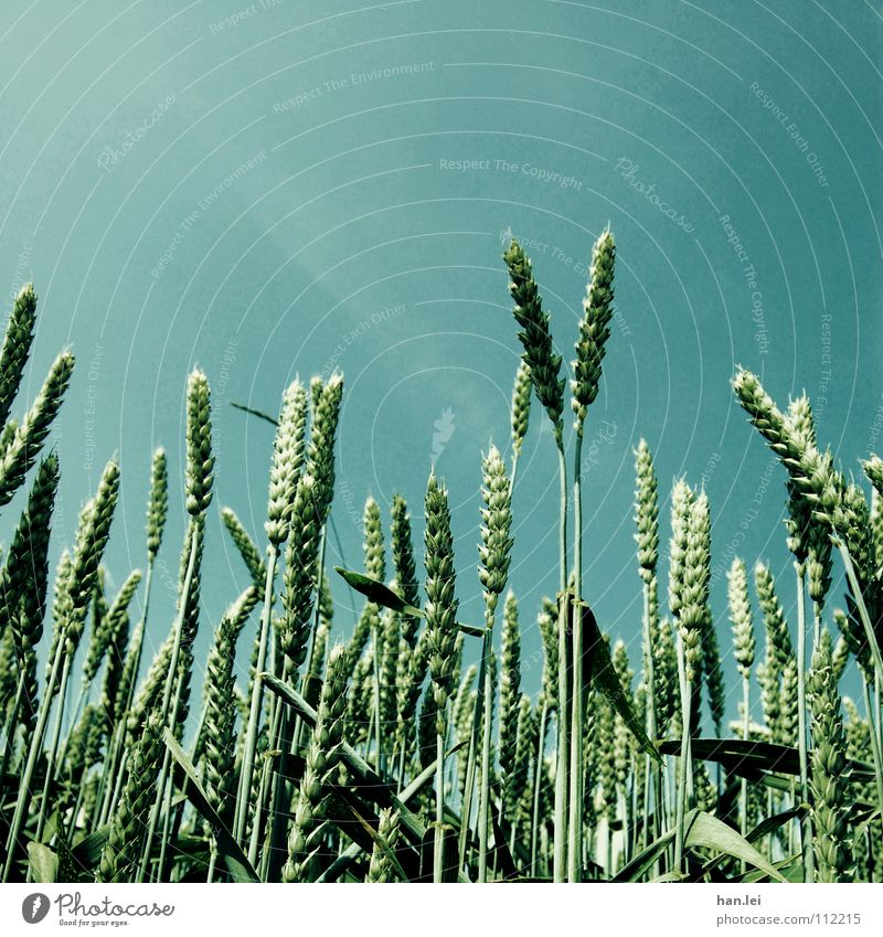 Vorweihnachtszeit Himmel blau grün Ernährung Gras Frühling Feld Wachstum Getreide Landwirtschaft Ernte Appetit & Hunger Halm Forstwirtschaft Weizen Ähren