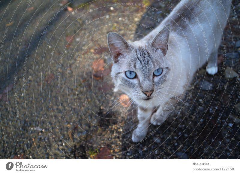 blaue Augen Tier Haustier Katze 1 ästhetisch elegant Farbfoto Außenaufnahme Vogelperspektive Tierporträt Blick nach oben