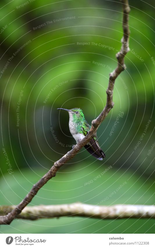 Kolibri Ferien & Urlaub & Reisen Umwelt Natur Luft Sonne Klima exotisch Urwald Vogel Flügel Kolibris 1 Tier fliegen klein Geschwindigkeit mehrfarbig grün