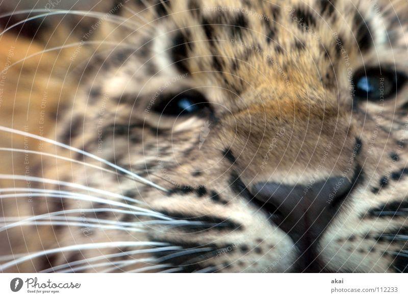 Little Leo Tier Futter Wachsamkeit Kontrolle Jäger Jagd krumm Angst Leopard Spielen ruhig Konzentration Pfote Schwanz Landraubtier Raubkatze Katze Säugetier