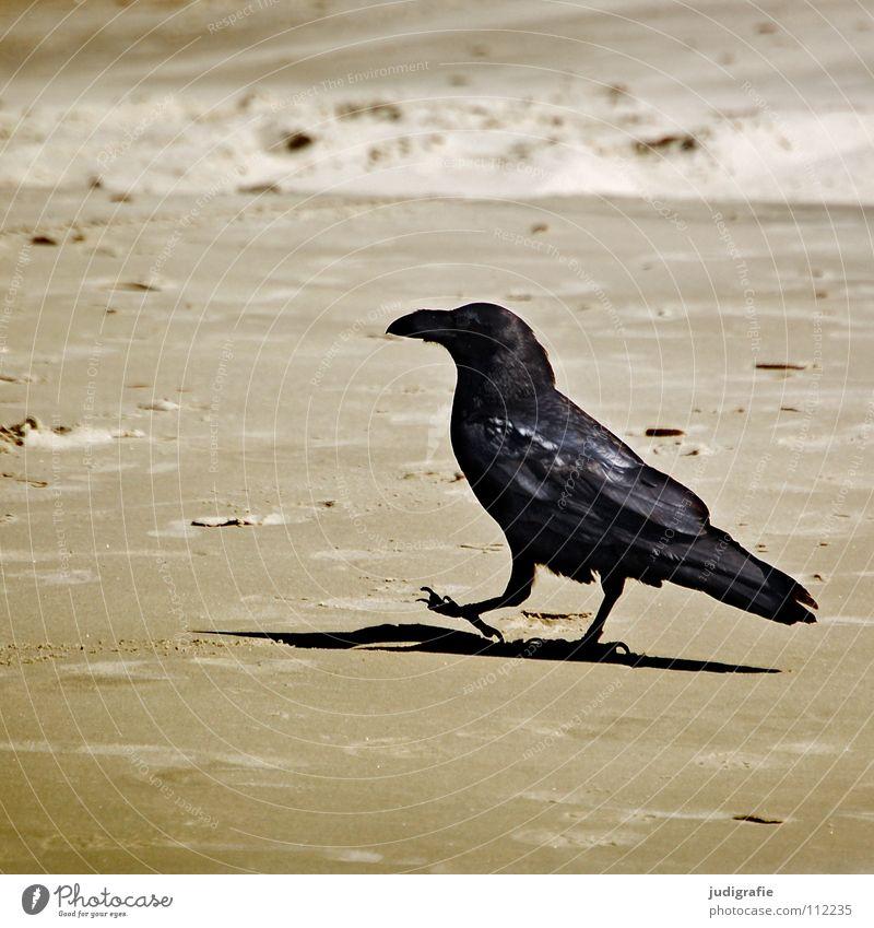 Strandspaziergang Strand Einsamkeit Farbe Sand Vogel Küste gehen laufen Spaziergang Tier Rabenvögel Krähe losgehen