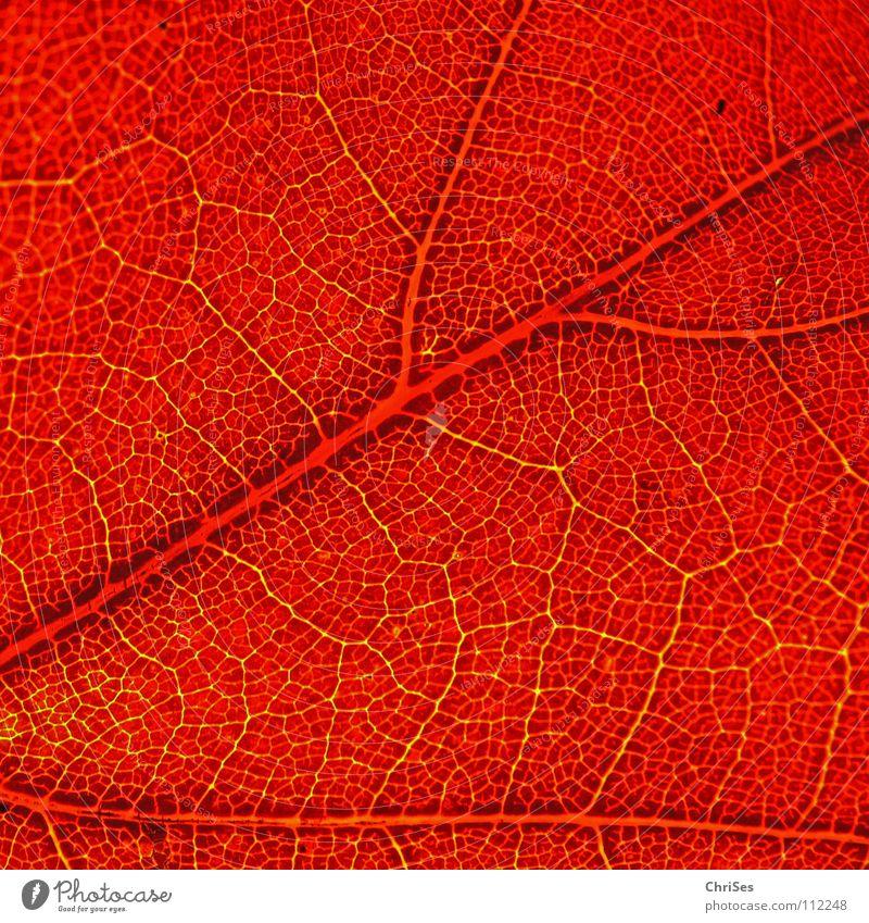 Herbstfarben.... grün Pflanze rot Blatt kalt Herbst nass Ende fallen Verfall Gefäße Nordwalde zeitlos Indian Summer Leuchttisch