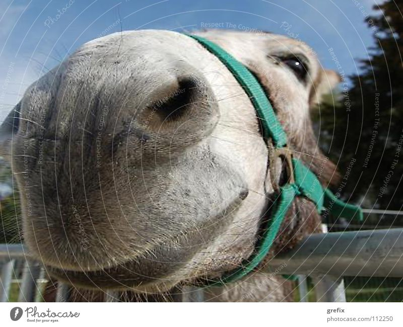 come closer Landwirtschaft Säugetier Nutztier Reitsport Stall Esel Tier Nüstern Zaumzeug Muli