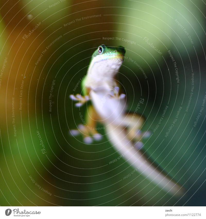 Bauchfrei grün Tier wild Kraft Wildtier warten beobachten Tiergesicht exotisch Fressen geduldig füttern Reptil Schuppen Echsen Terrarium