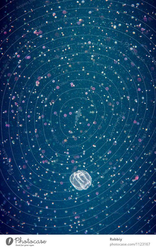 Sternenjäger II Natur Wasser Meer Tier Leben natürlich Schwimmen & Baden leuchten Punkt durchsichtig Umweltschutz exotisch Schweben Aquarium maritim Qualle