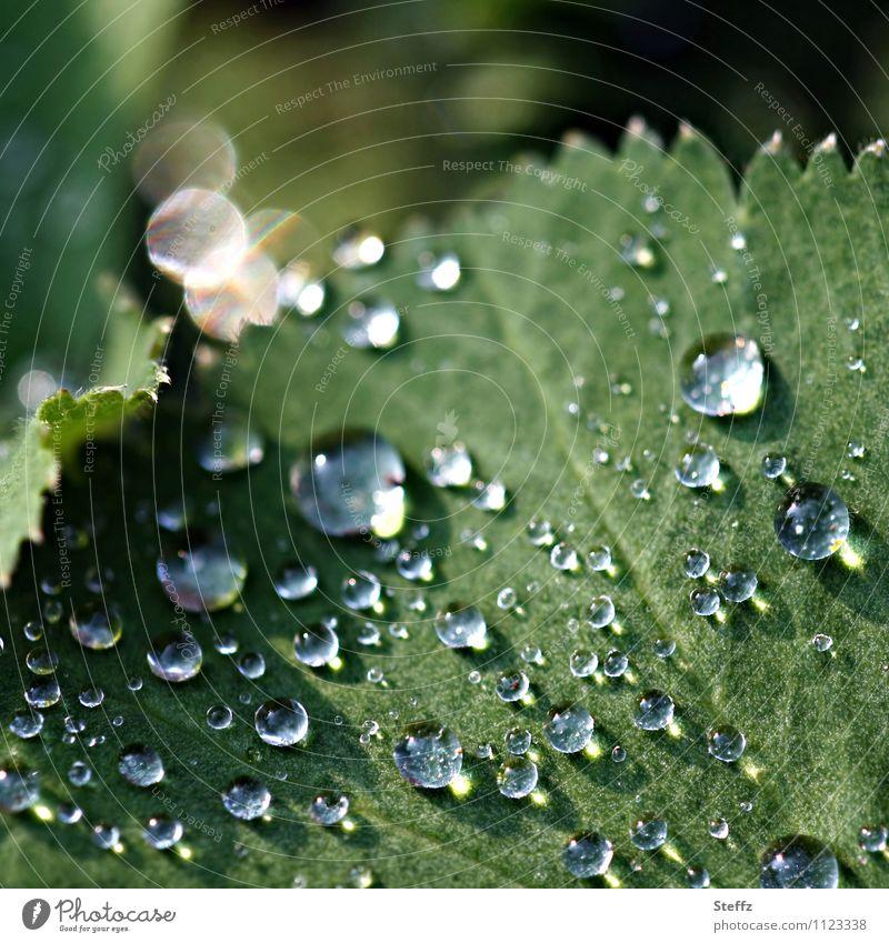 Regentropfen mit Lichtreflexen auf einem Frauenmantelblatt Lotuseffekt hydrophob Wassertropfen Heilpflanze Tropfen Frühlingsregen nach dem Regen Lichtspiegelung