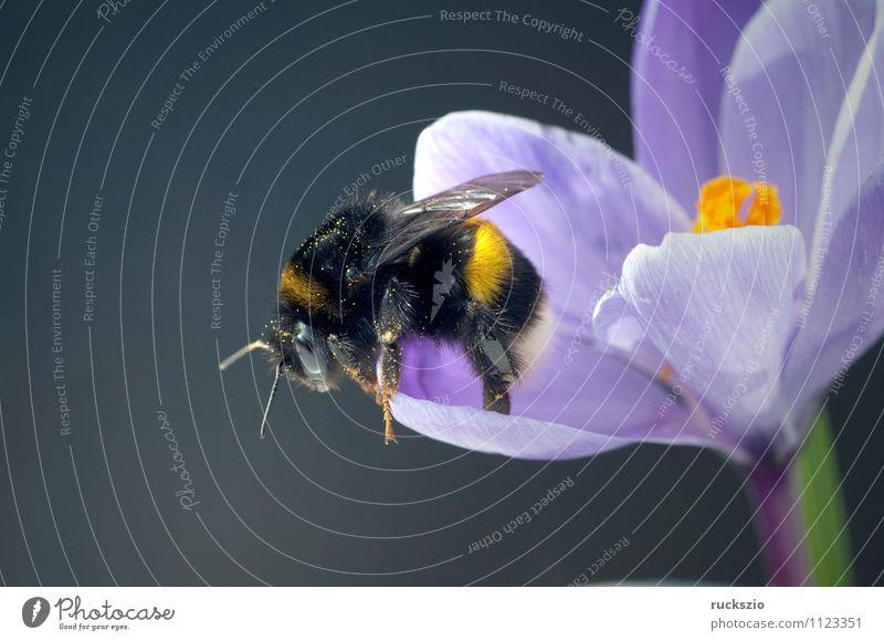 Gartenkrokus, Hummel, Krokus, Crocus, Vernus, Natur blau Blume Tier schwarz Frühling Blüte grau frei Blühend Insekt Biene Blütenblatt Objektfotografie