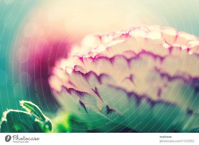 Pretty in pink elegant Stil Natur Frühling Schönes Wetter Blume Sträucher Blatt Blüte Wildpflanze Ranunkel Hahnenfußgewächse Garten Unschärfe Blühend Erholung