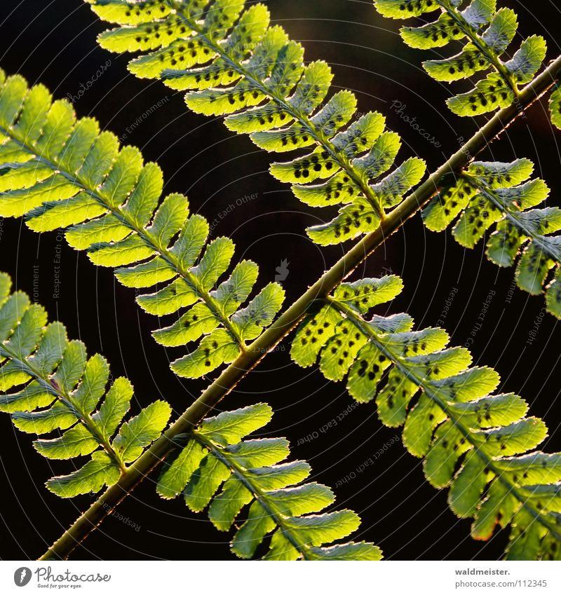 Farn grün schön Sommer dunkel Herbst verrückt Hoffnung filigran Echte Farne Sporen