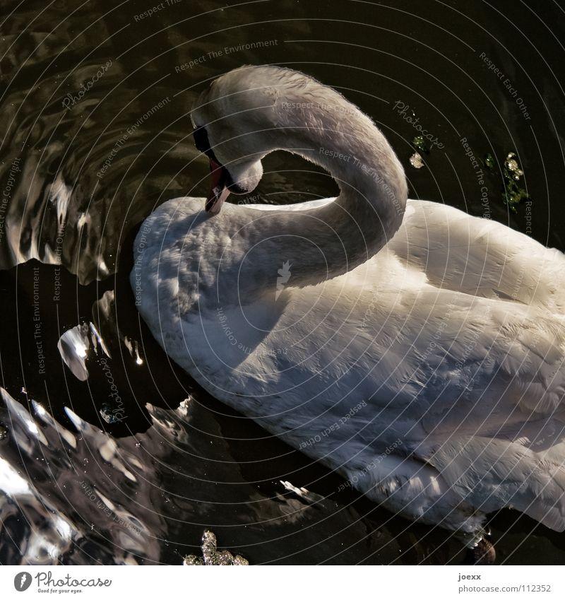 2 Wasser Tier See Vogel Wellen bedrohlich Flügel Feder Hals Teich Schwan gekrümmt demütig Gewässer Angriff