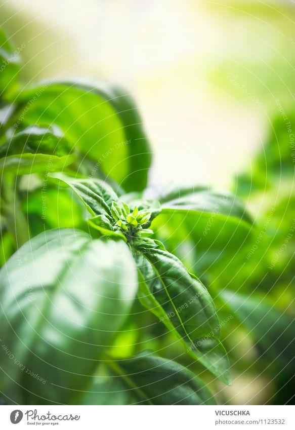 Basilikum im Garten Lebensmittel Kräuter & Gewürze Ernährung Bioprodukte Vegetarische Ernährung Diät Lifestyle Stil Design Gesunde Ernährung Freizeit & Hobby