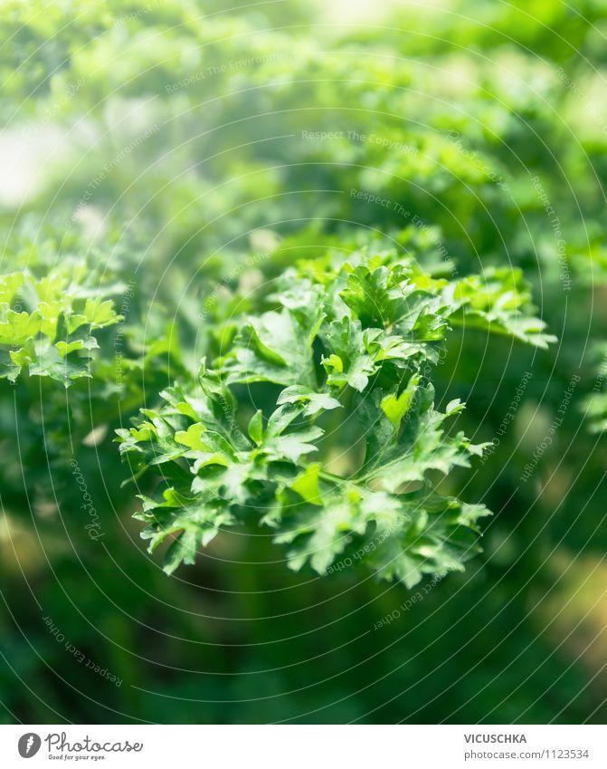 Petersilien Natur grün Sommer Blatt Stil Hintergrundbild Garten Lebensmittel Lifestyle Design Schönes Wetter Kräuter & Gewürze aromatisch Lichtspiel