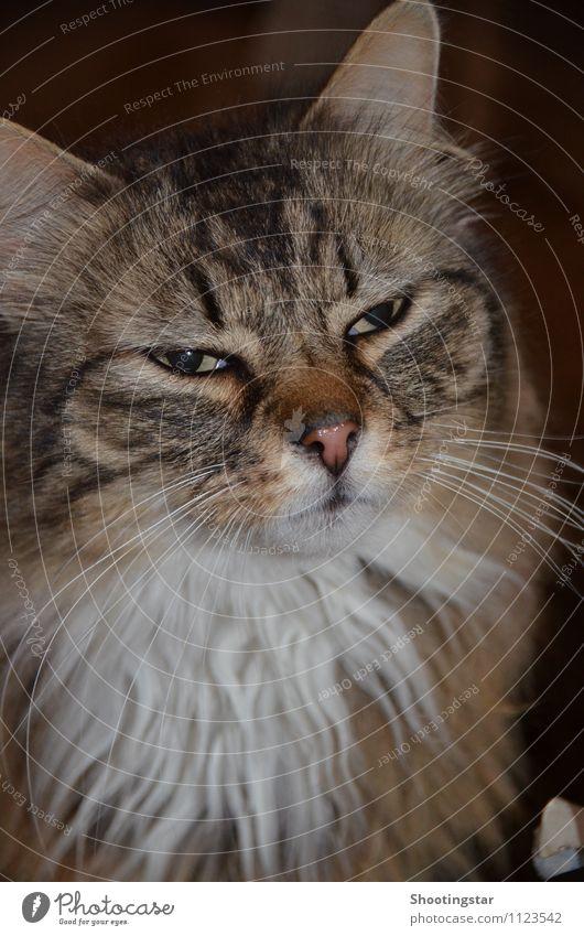 Schau mir in die Augen Kleines Fell langhaarig Bart Behaarung Tier Haustier Katze Tiergesicht 1 träumen bedrohlich streng Ernst Farbfoto Innenaufnahme