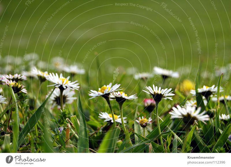 Daisy:-) schön weiß Blume grün Sommer Ferne Wiese Feld Amerika Gänseblümchen Wiesenblume ländlich