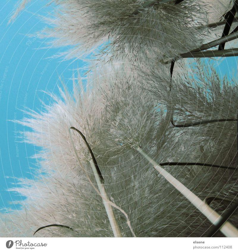 ::WUSCHELWALD2WEI:: Stengel grün Winter Gras groß weiß grau Froschperspektive unten Wolle weich Natur Baumstamm Bambusrohr Himmel hell blau Schutz verstecken
