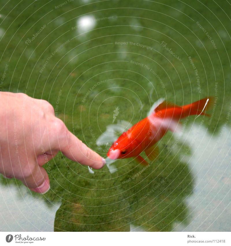 .Piranha Wasser Hand grün rot Finger Fisch Neugier Vertrauen zeigen Teich Wasseroberfläche Zeigefinger Goldfisch Wasserspiegelung zutraulich Frauenhand