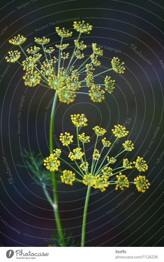 Dill, ohne Zusätze Lebensmittel Kräuter & Gewürze Vegetarische Ernährung Vegane Ernährung Natur Pflanze Sommer Nutzpflanze Dillblüten Gartenpflanzen gelb grün