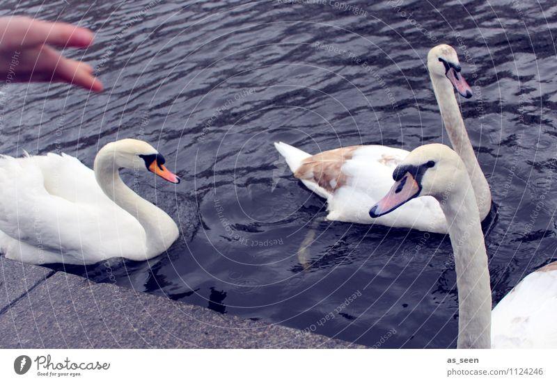 Schwäne füttern Freizeit & Hobby Vögel füttern Kindererziehung Hand Umwelt Natur Landschaft Tier Park Küste Seeufer Teich Wildtier Schwan Tiergesicht Flügel 3
