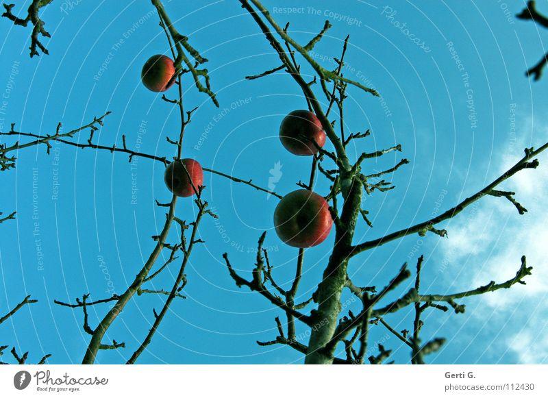 BaumSchmuck Apfelbaum rot Lebewesen Herbst laublos himmlisch prächtig Wolken schlechtes Wetter himmelblau Apfelkompott Ernährung Gesundheit ökologisch Obstbaum