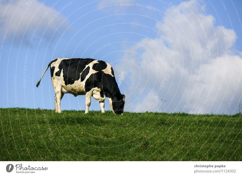 Eine Kuh macht Muh, viele Kühe machen... Natur Ferien & Urlaub & Reisen Sommer Tier Umwelt Berge u. Gebirge Wiese Frühling natürlich Feld Schönes Wetter