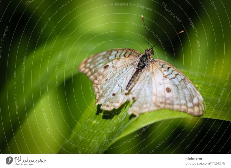 Natur schön weiß Tier schwarz natürlich braun Flügel niedlich Beautyfotografie Insekt Schmetterling gepunktet beige Antenne Pfau