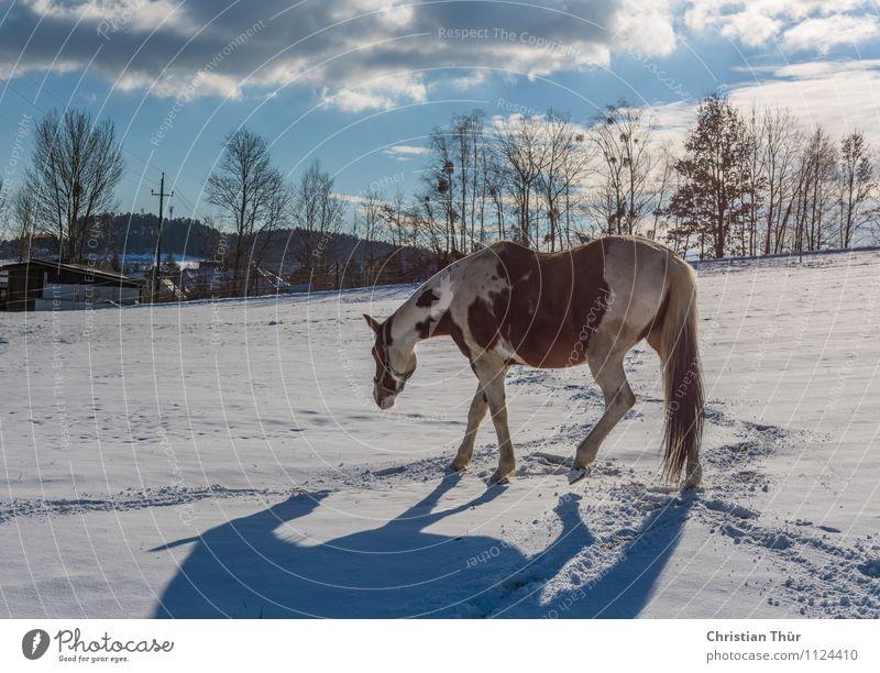Pferd im Winter auf Stallsuche:) Reiten Jagd Ferien & Urlaub & Reisen Tourismus Abenteuer Ferne Freiheit Schnee Winterurlaub Sport Natur Wolken Schönes Wetter