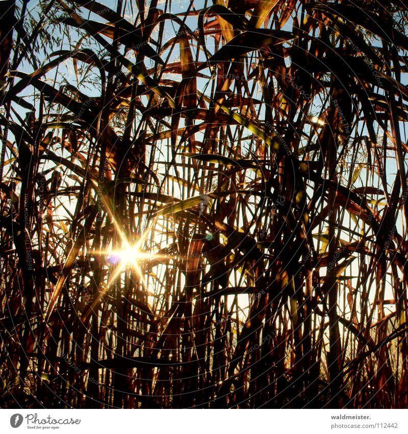 Schilf Schilfrohr Röhricht Blatt Sonnenstrahlen Morgen Gegenlicht Licht Küste Schatten