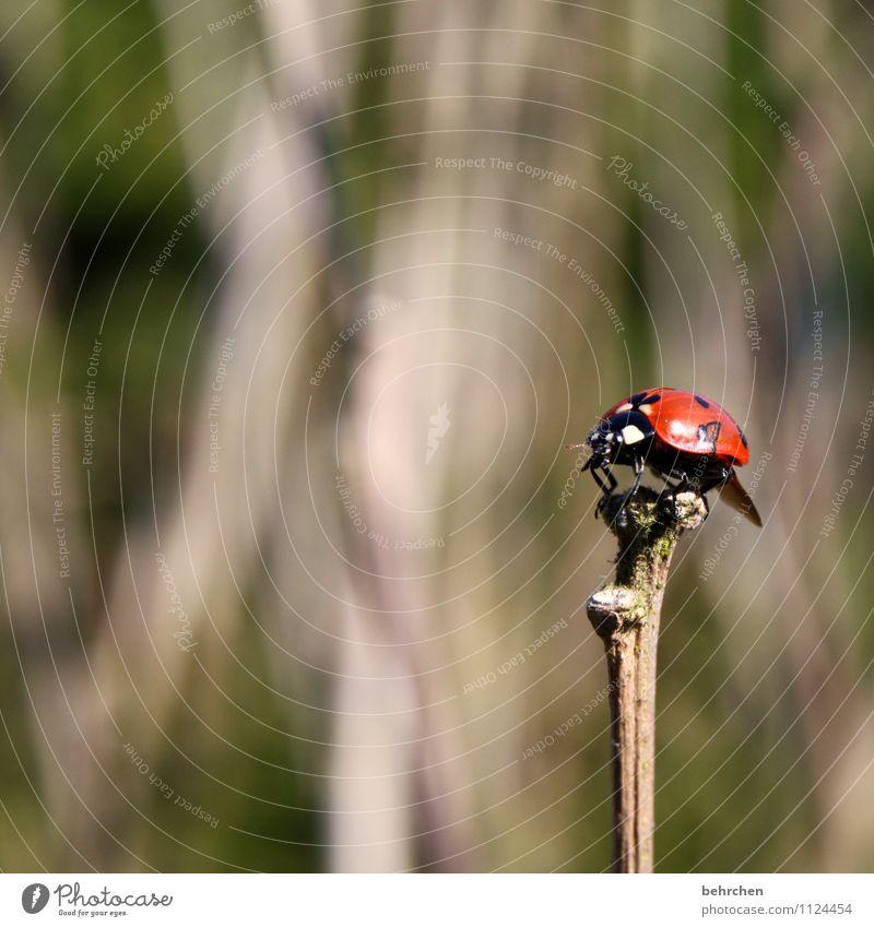 stock im arsch;) Natur Pflanze Tier Frühling Sommer Herbst Sträucher Garten Park Wiese Wald Wildtier Käfer Flügel Marienkäfer 1 beobachten Erholung fliegen