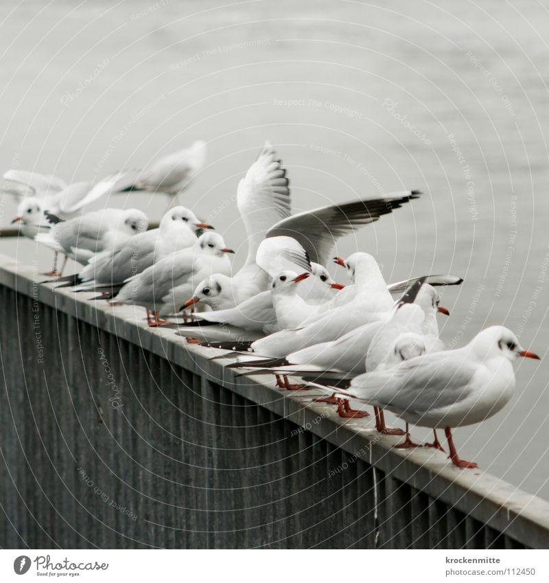 Aus der Reihe tanzen Tier grau Vogel warten Flügel Feder Aussicht Geländer Möwe Schnabel flattern Möwenvögel