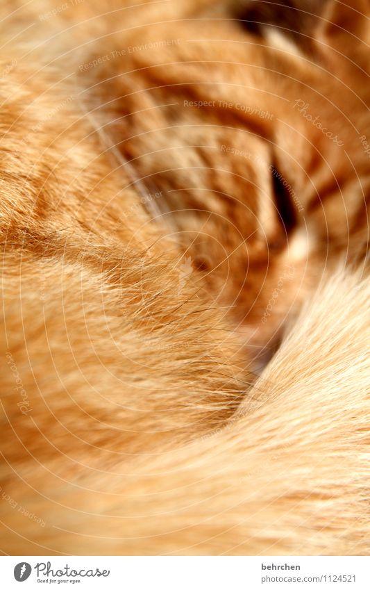 streichel mich! Katze schön Glück liegen träumen orange Zufriedenheit niedlich berühren schlafen Schutz Sicherheit Wohlgefühl Fell Vertrauen Tiergesicht