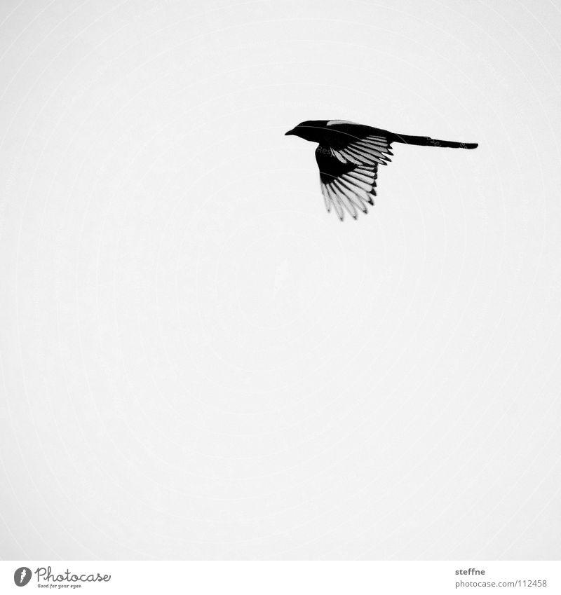 Bird Reynolds Vogel Elster schwarz weiß Aerodynamik Herbst kalt ruhig Einsamkeit Feder Dieb entwenden Schwarzweißfoto bird fliegen Luftverkehr fly flying Flügel