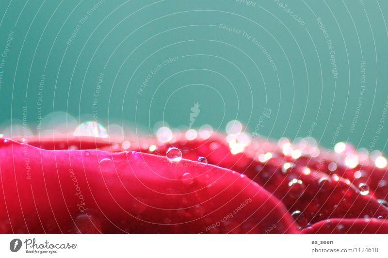 Rosenblüte Natur schön Farbe Sommer Wasser Erholung rot Blüte Liebe Frühling rosa glänzend Design frisch elegant ästhetisch