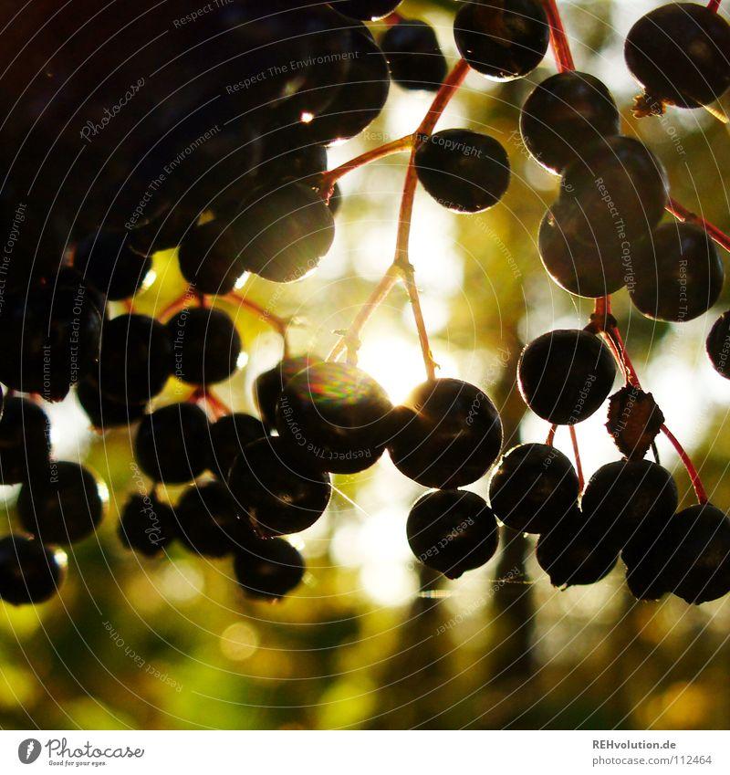 hollunder Herbst rund dunkel Gegenlicht Licht hängen Silhouette mehrere klein blenden lecker Frucht hell viele Beeren Holunderbeeren Holunderbusch