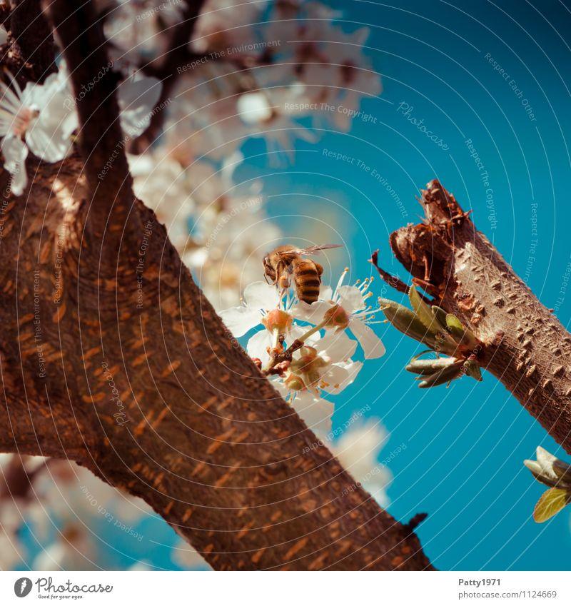 Blütenzweig mit Biene Natur Wolkenloser Himmel Frühling Schönes Wetter Baum Kirschblüten Zweig Ast 1 Tier Blühend ästhetisch blau weiß Honigbiene ansammeln