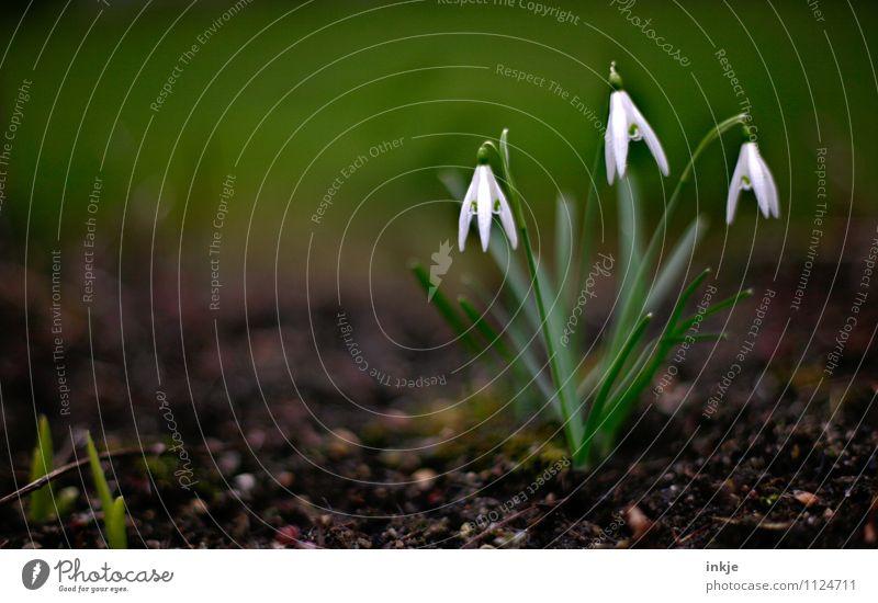 drei davon Natur Pflanze Erde Frühling Blume Maiglöckchen Frühlingsblume Frühlingsblumenbeet Garten Blühend hängen frisch klein natürlich braun grün weiß