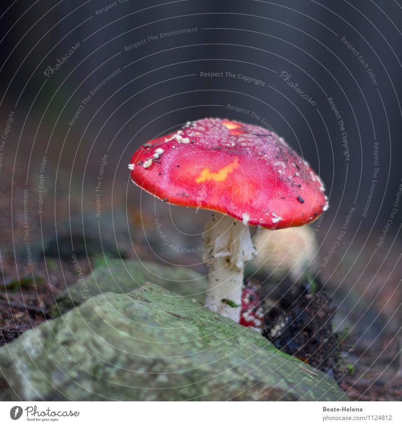 Rotkäppchen lässt grüßen Vegetarische Ernährung Pilzhut Natur Pflanze Wald Urwald Wachstum warten ästhetisch dunkel exotisch weich grün rot weiß schön Stimmung