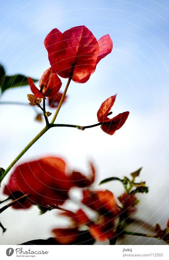 Genau, Emma Blume Blüte Pflanze Wachstum Stengel rosa hell-blau Sommer Blatt grün Himmel springen schön Blühend flower leaves leaf sky blue Ernte