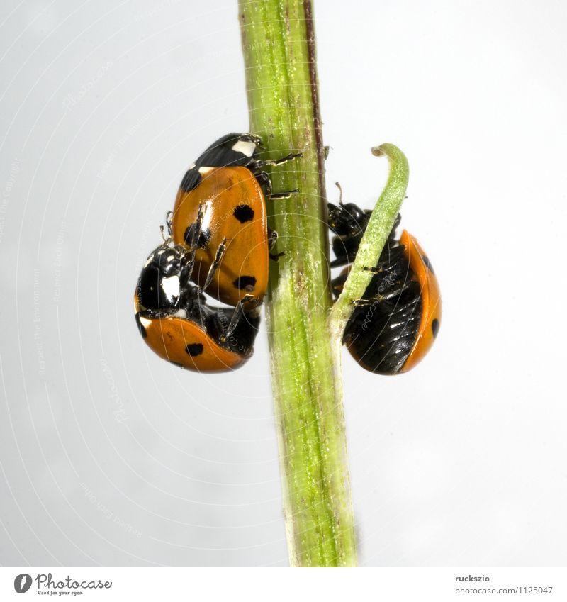 Marienkaefer, Paarung, Natur Tier Wildtier Käfer frei rot schwarz weiß Marienkäfer Fortpflanzung making Coccinella semptempunctata 7-Punkt Insekt halbkugeliger