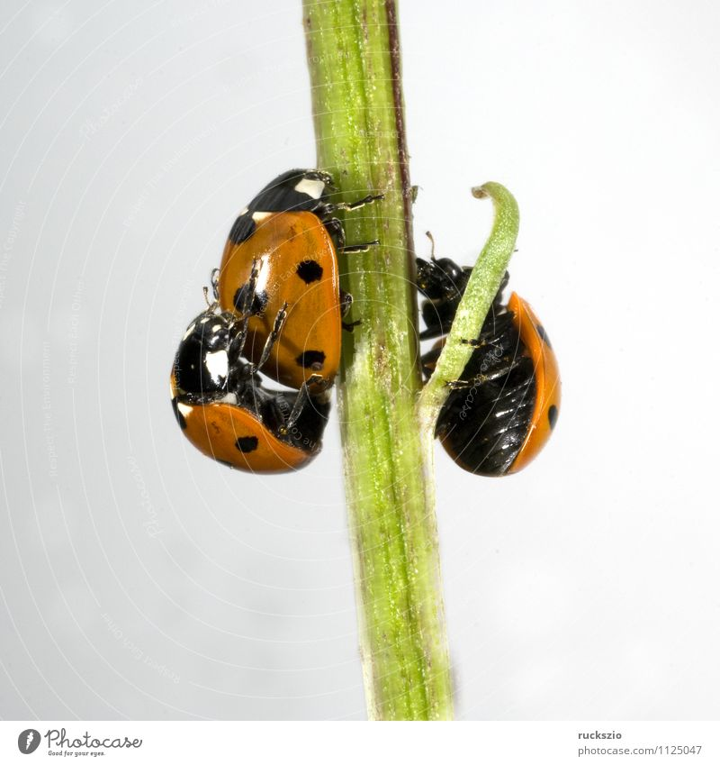 Marienkaefer, Paarung, Natur weiß rot Tier schwarz Wildtier frei Punkt Insekt Stillleben Käfer Marienkäfer Schlag Objektfotografie Fortpflanzung neutral
