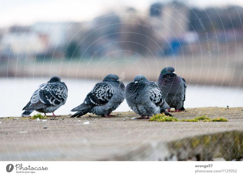 Kühles Wetter Stadt blau Tier kalt Wand Mauer grau Vogel Stadtleben Wildtier warten Tiergruppe Fluss Stadtzentrum Haustier Taube