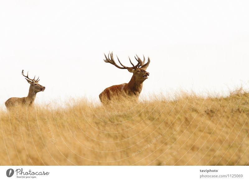 großer Hirsch auf dem Hügel Natur Mann schön grün rot Landschaft Tier Wald Erwachsene Herbst Wiese Gras natürlich braun Park wild