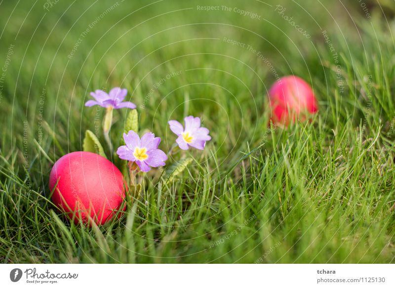 Ostereier Lebensmittel Jagd Garten Ostern Blume Gras Blüte Wiese Feld grün rot Religion & Glaube Ei Osterjagd Kissen-Primel Feiertag Fotografie Farbbild