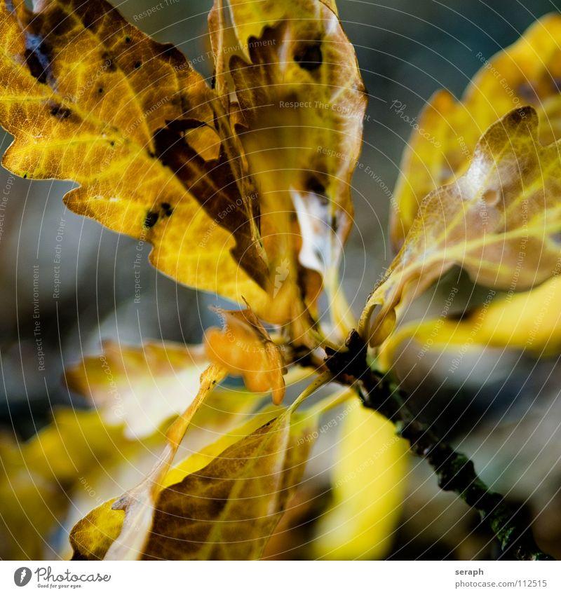 Eichenlaub Natur Pflanze Farbe Baum Blatt Herbst Ast Jahreszeiten Zweig Baumkrone herbstlich Grünpflanze Blattadern Blattgrün Färbung