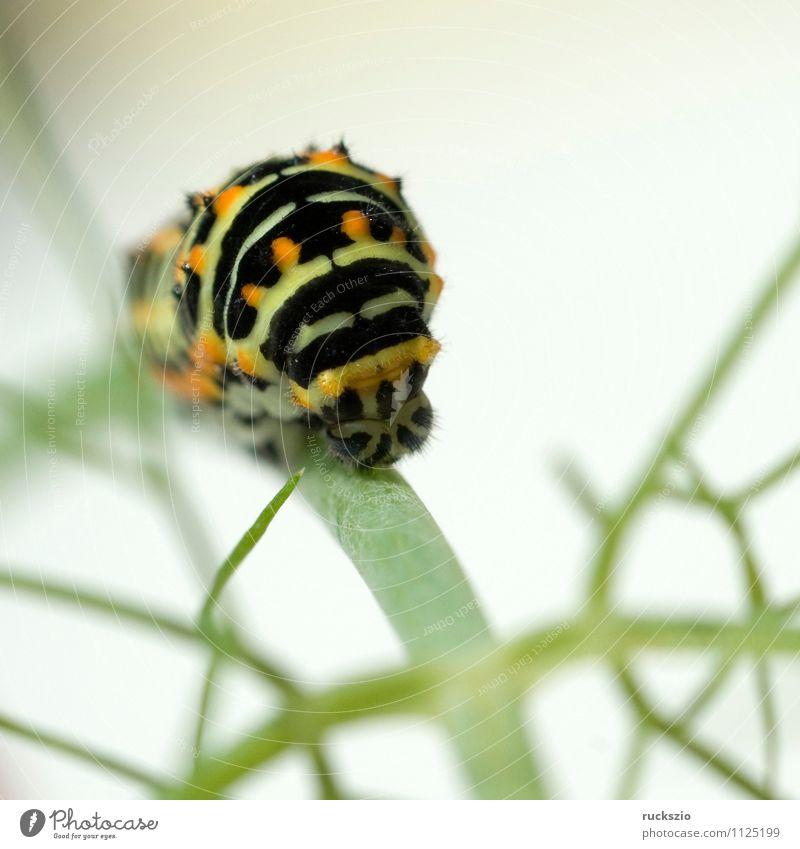 Raupe; Schwalbenschwanz; Wildtier Schmetterling frei gelb schwarz weiß Papilio machaon Tagfalter Insekt Edelfalter Fleckenfalter Edelschmetterling whitebox