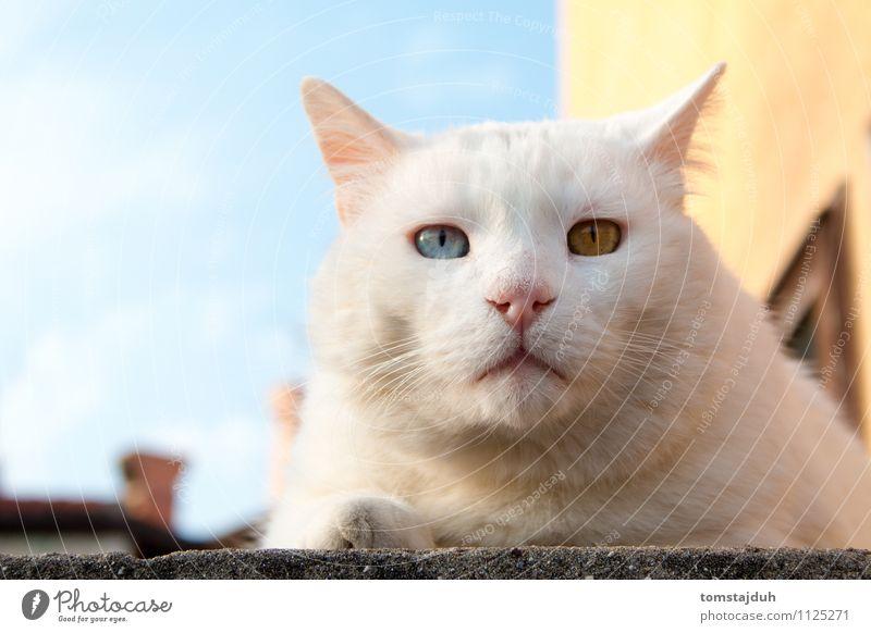 Seltsamäugiger Kater mit seltsamen Augen Sightseeing Sommer Tier Himmel Schönes Wetter Slowenien Europa Haus Haustier Katze Tiergesicht 1 liegen exotisch