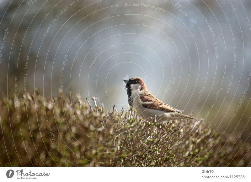 Ausguck auf der Hecke Garten Tier Sonnenlicht Frühling Schönes Wetter Sträucher Zweige u. Äste Wildtier Vogel Spatz Singvögel Haussperling 1 sitzen Wachstum