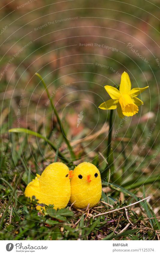 yellow love Umwelt Natur Tier Erde Pflanze Blume Gras Moos Blatt Blüte Narzissen Küken Spielzeug Kitsch Krimskrams Brunft berühren Blühend sprechen hocken