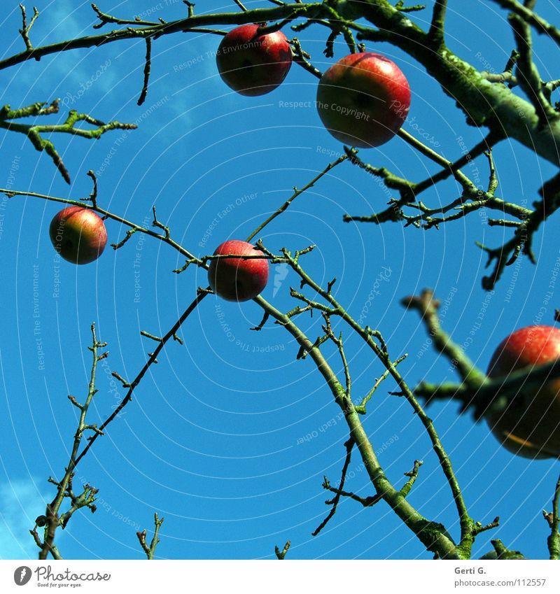 Schmuck am Baum Apfelbaum rot Lebewesen Herbst laublos himmlisch prächtig Wolken schlechtes Wetter himmelblau Apfelkompott Ernährung Obstbaum Gesundheit