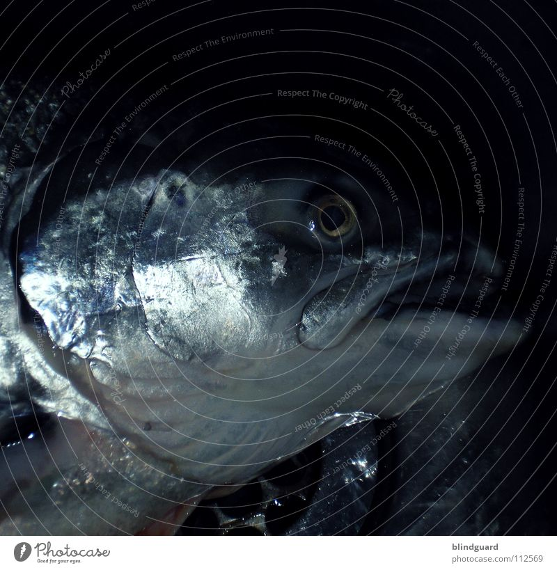 Freitags Gibt's Fisch Wasser Auge Tod Religion & Glaube glänzend groß nass frisch Ernährung Fisch Symbole & Metaphern Kochen & Garen & Backen Küche Bar Gastronomie fangen